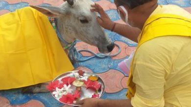 Photo of गुरु-पूर्णिमा पर गौ-माता का आशुतोष शिव मंदिर में आगमन